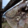 El katsuobushi gallego de congrio